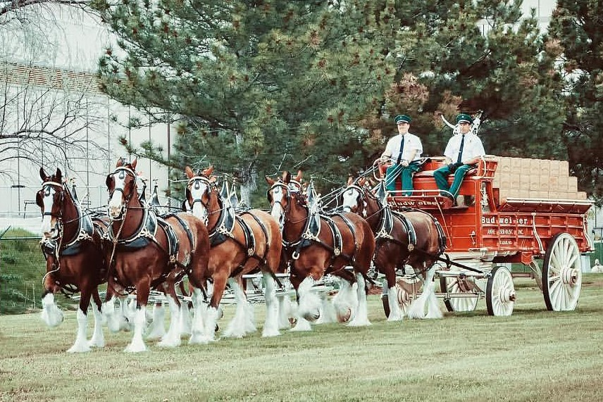 Budweiser Clydesdales In Fort Worth This Weekend With